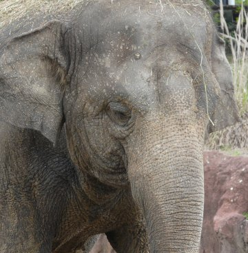 Busch Gardens Elephant